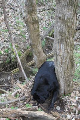 found wedged in fork of tree